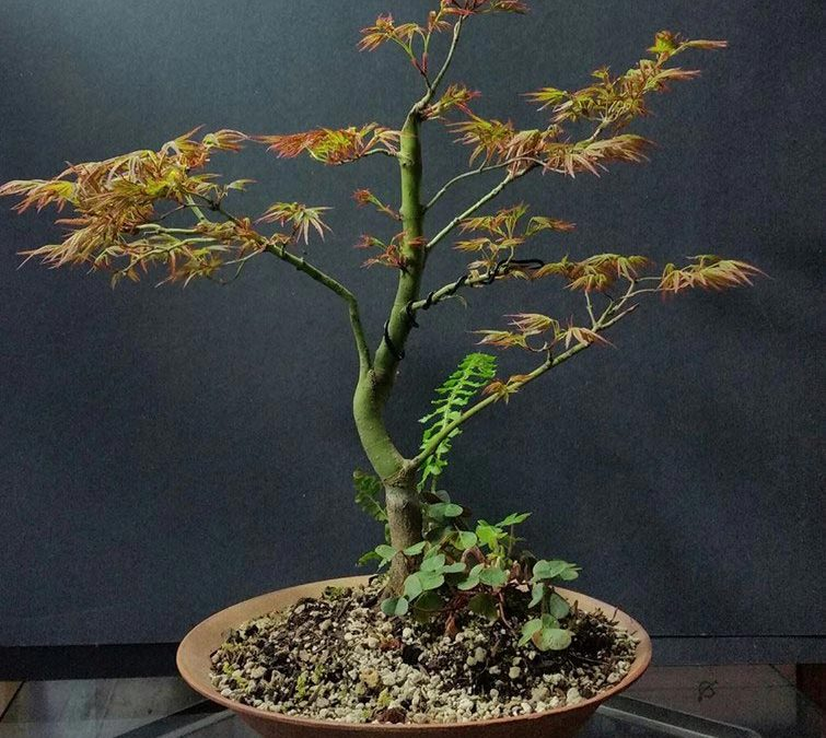 "Acer palmatum ""Kamagata""/ Japanese Maple– ""Eagle's Claw."""