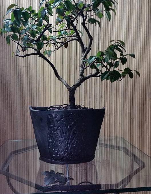 "Lorapetalum sinensis ""Sizzling Pink""/Chinese Fringeflower"