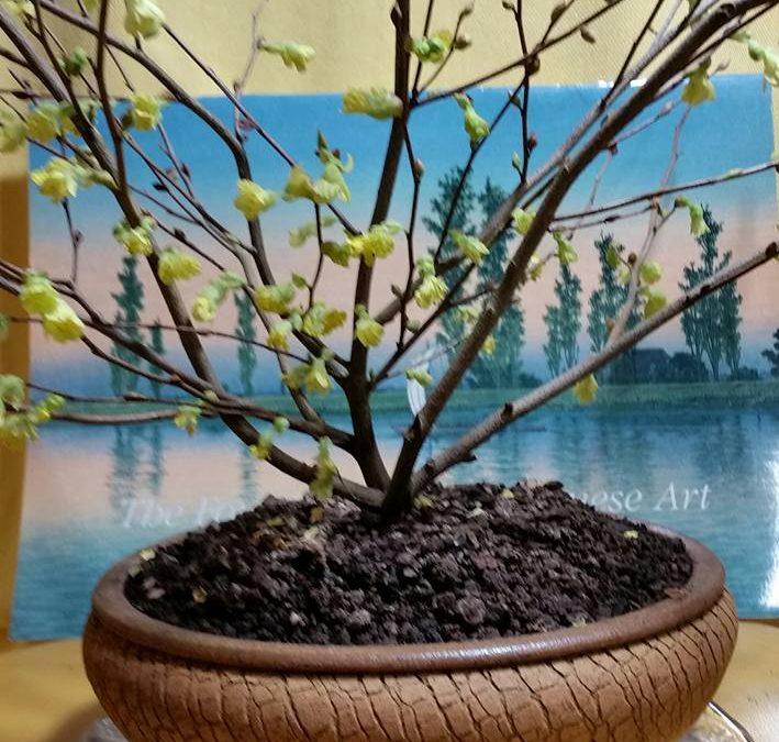Buttercup Winterhazel/Corylopsis pauciflora
