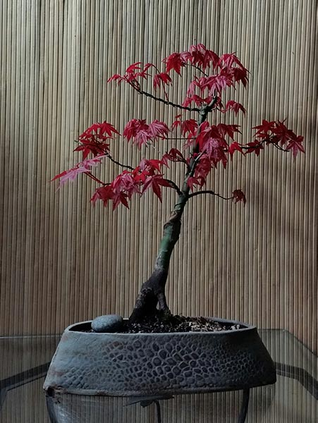 "Acer palmatum ""Shindeshojo""–Japanese Maple"