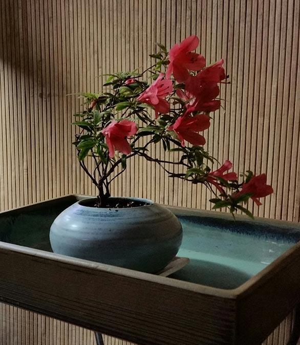 """Rhododendron indicum """"Chinsan""""- Satsuki Azalea"""