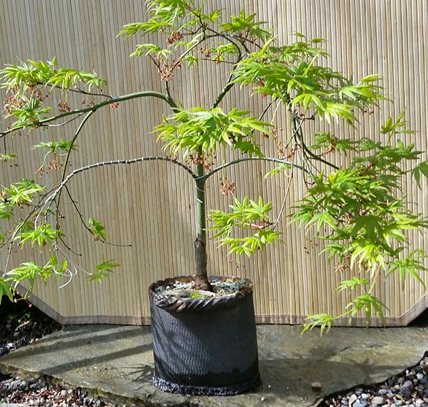 Japanese Maple Pruning now available