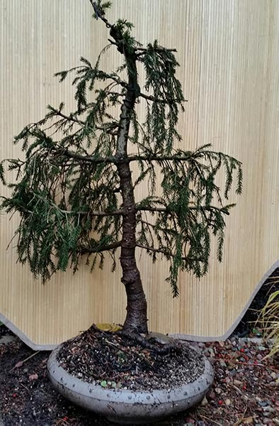Picea aureospicata — a weeping form of Norway Spruce