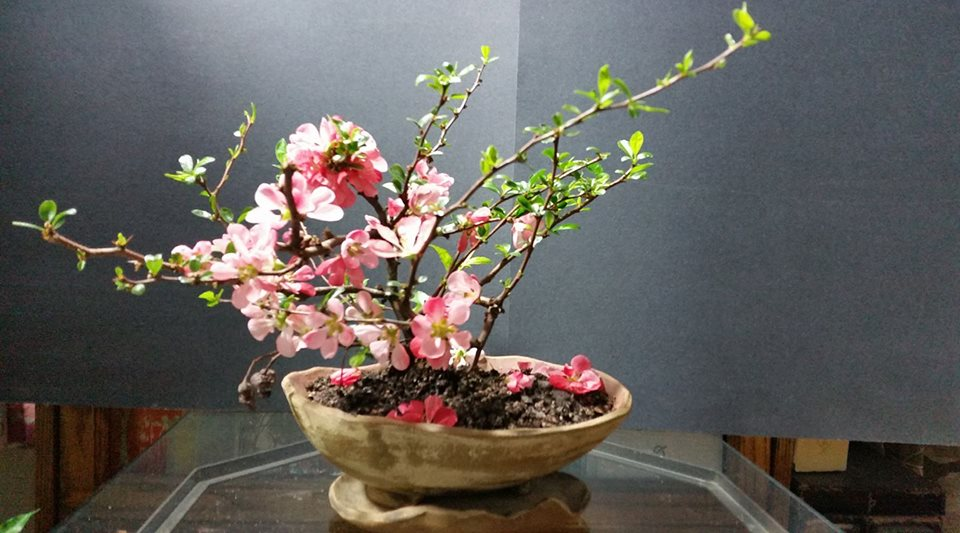"Bonsai Akira - Portland Oregon - Pacific Northwest Native Trees - Chaenomeles japonica ""Toyo Nishiki""--Japanese Flowering Quince"