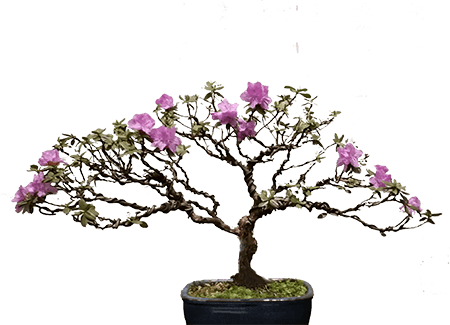 Satsuki Azalea– the finest of the flowering bonsai…