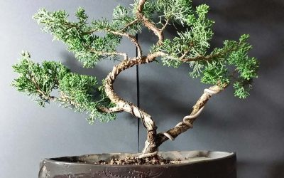 California State Bonsai Convention has a new vendor– Bonsai Akira!