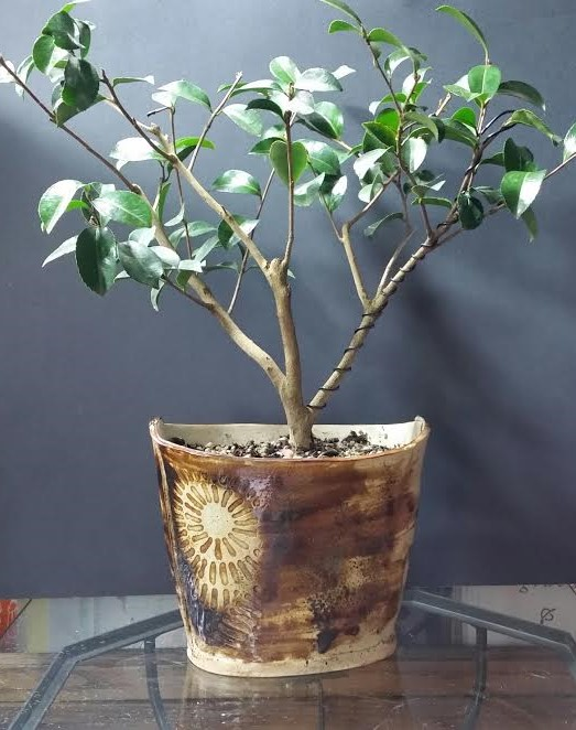 "Camellia sasanqua ""Setsugekka"""