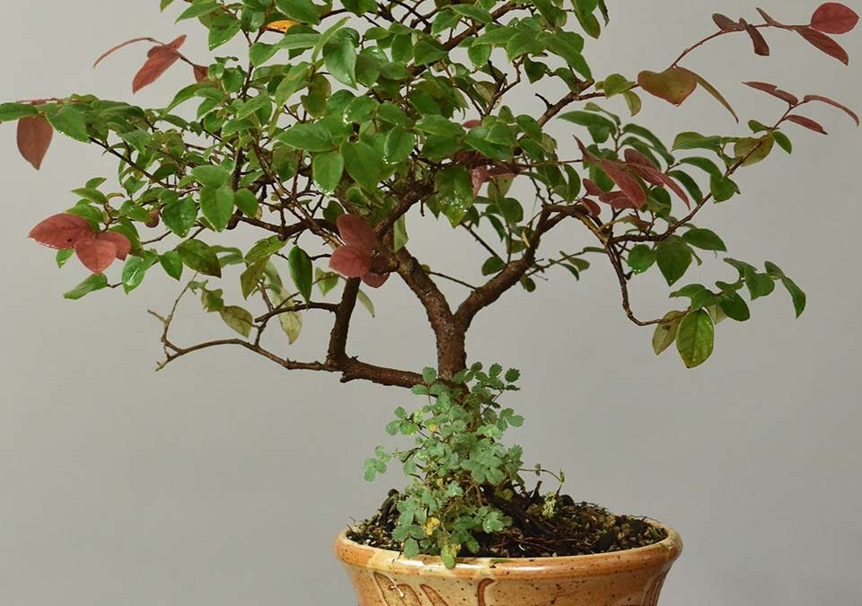 "Lorapetalum sinensis ""Sizzling Pink""– Chinese Fringeflower"