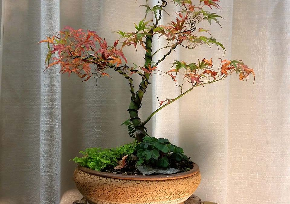"Acer palmatum ""Kamagata"" Japanese maple bonsai 2016"
