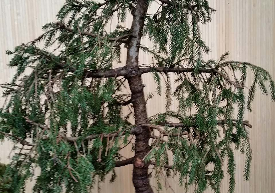 """Picea orientalis """"Aureospicata"""""""