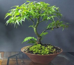 "Bonsai Akira - Portland Oregon - Pacific Northwest Native Trees - ""Kamagata"" or ""Eagle's Claw"" Japanese Maple"