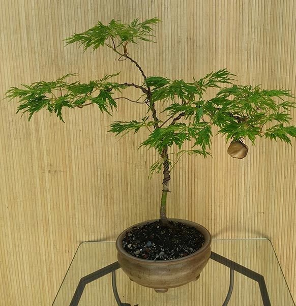 "Acer japonicum dissectum ""Fairy Lights""--another rare and unusual Japanese Maple"