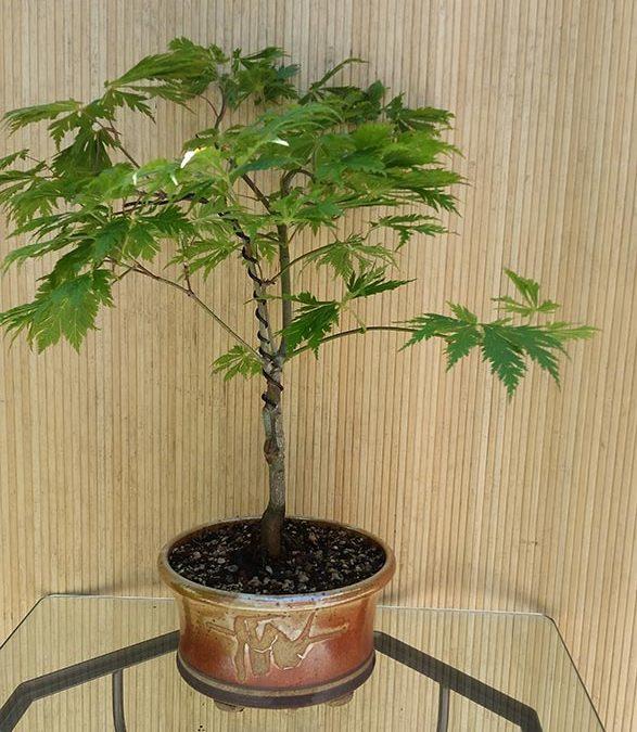 """Acer palmatum """"Aconitifolium"""""""