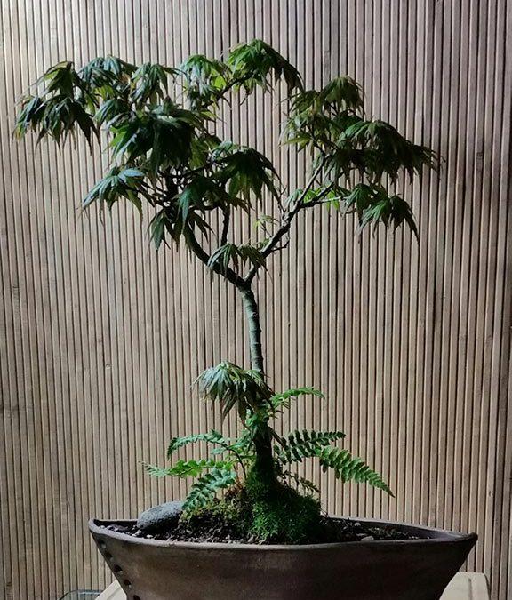 """Acer palmatum """"Mikawa Yatsubusa"""""""