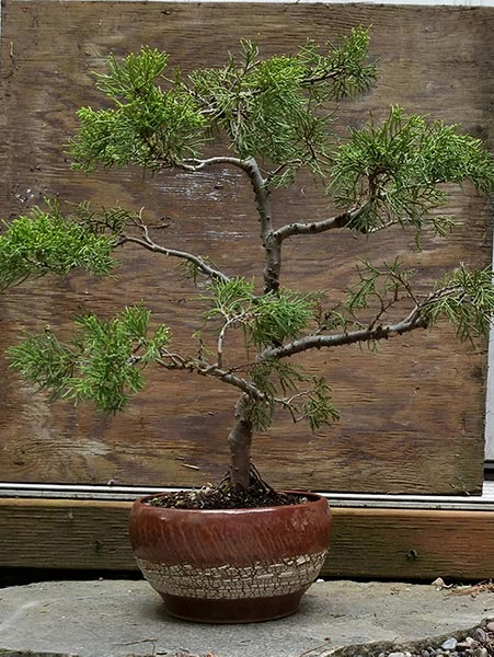 California Juniper has discovered its true nature!