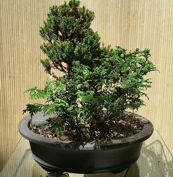 Hinoki Cypress Forest