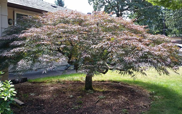 Japanese Maple Styling