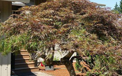 "Japanese Style Pruning of Thirty Year Old ""Tamukayama"" specimen."