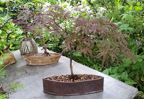My newest Japanese Maple has found its home.