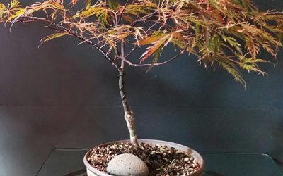 """Red Dragon"" Japanese Maple Steals the Show"