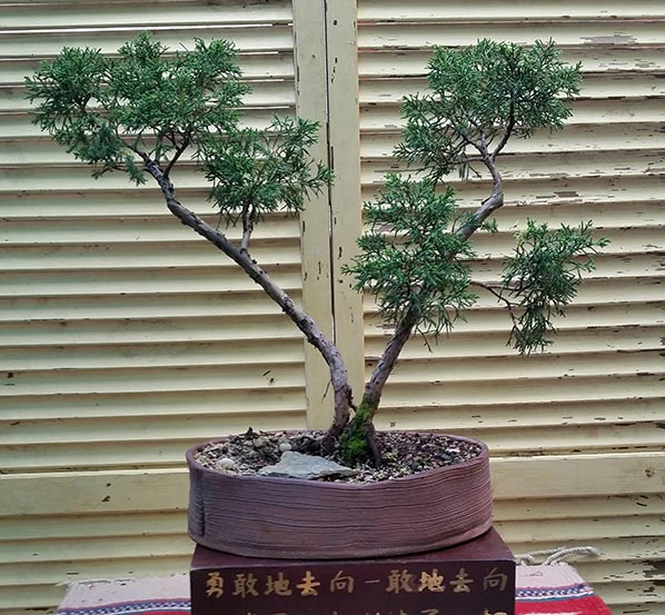 Shimpaku Juniper Shines through summer heat