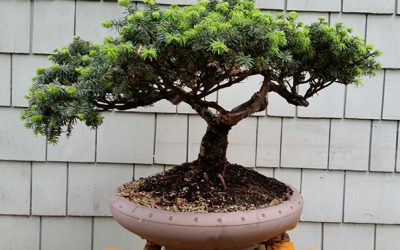 Bonsai Akira to Show Trees at National Convention