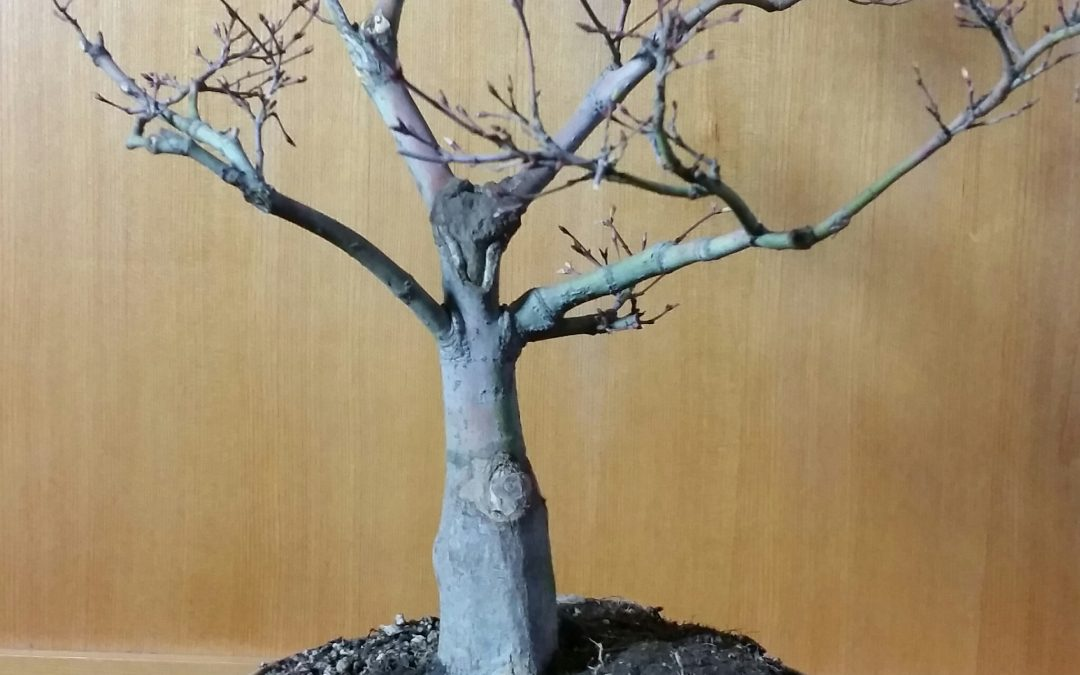 My newest completion — Coral Bark Japanese Maple