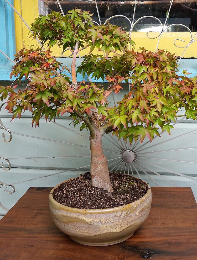 Open Studio Bonsai Show And Sale September 21 Bonsai Akira