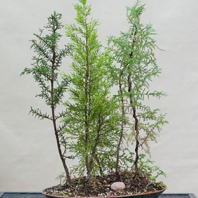 Ponderosa Pine Pinus Ponderosa Bonsai Akira