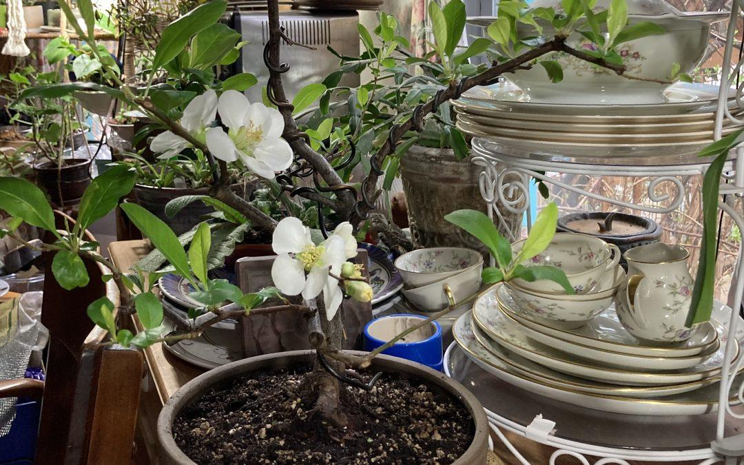Ornamental Quince Gives Late Winter Delight