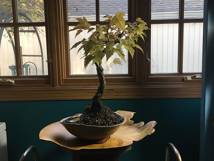 Featured Tree– Flame Maple in her Glorious Raiment