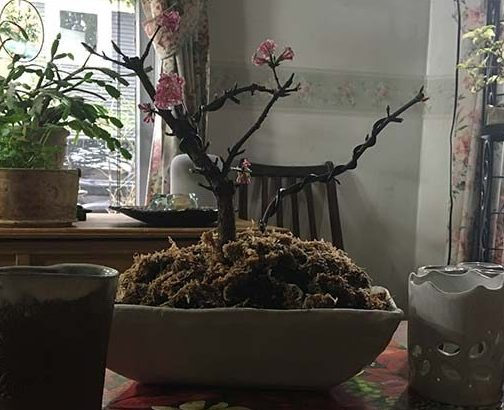 Winter's Joy– Flowering Bonsai Viburnum
