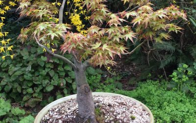 "Acer palmatum ""Murasaki Kyohime""– Japanese Maple"