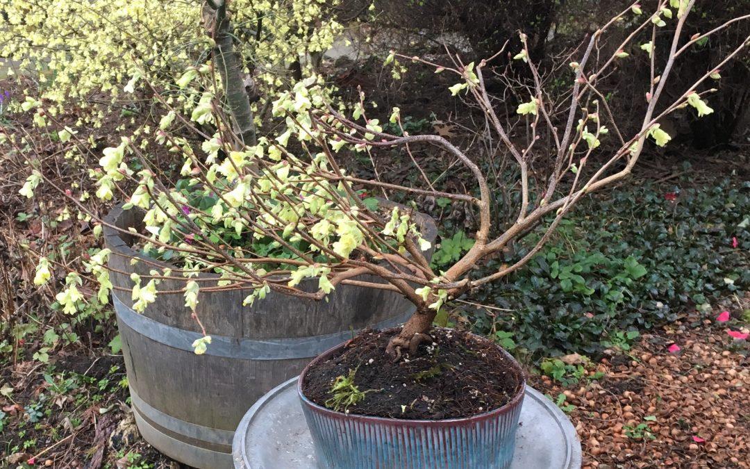 Winterhazel Blooms in Early Spring!