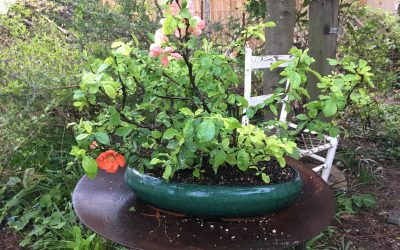 Another New Specimen for my Collection– Japanese Quince
