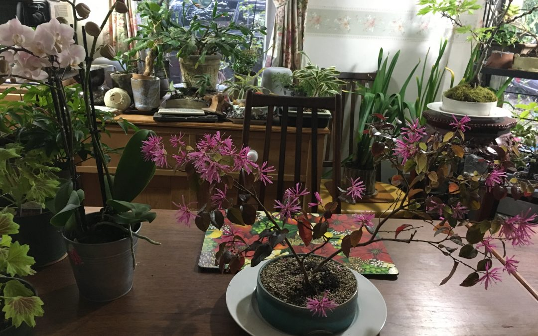 Chinese Fringeflower Sizzles in Spring Raiment