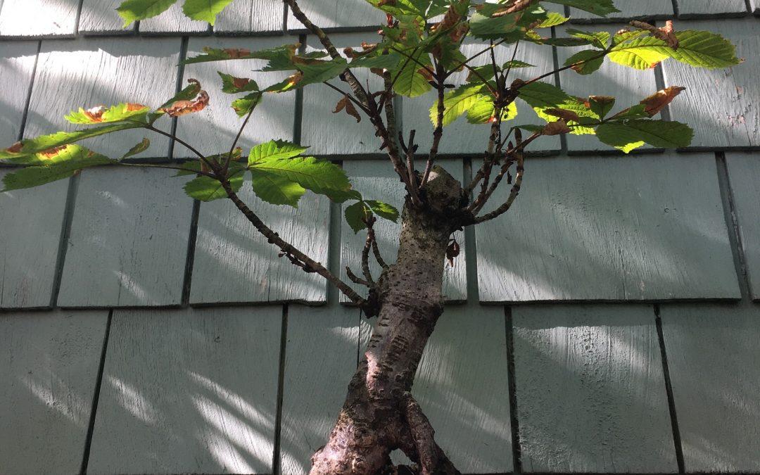 An American Original– Buckeye Bonsai