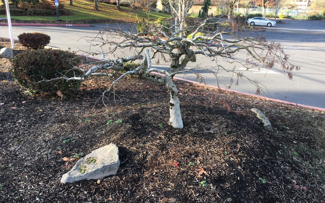 Landscape Pruning— Year Five